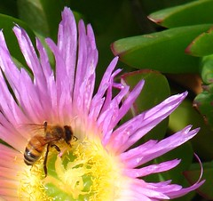 Bee (Catrina Stearns) Tags: flower green yellow purple bee payitforward 1on1macros judgmentday54