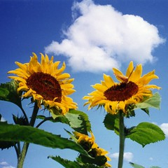 Sunflowers And Butterfly Cropped - Helianthus (Chrisser) Tags: flowers blue sky cloud ontario canada film nature topf25 garden gardening sunflowers mostfavorited notdigital asteraceae globalvillage scannedphotos mostviewed flowerfactory fantasticflowers interestingness12 interestingness14 interestingness15 i500 onlythebest flickrsmileys 30faves30comments300views heartaward naturemasterclass