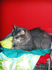 Percy on my Clothes (tianadargent) Tags: cat clothes percy