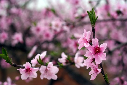 Peach blossoms in Yichang county.