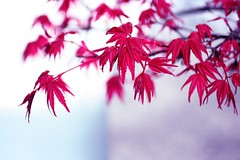 Bonsai Acer (Emily Quinton) Tags: red holiday macro tree leaves topv111 tag3 taggedout wow wonderful maple topv333 tag2 tag1 acer tiny bonsai montrealbotanicgarden