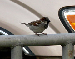Male English Sparrow On Rail