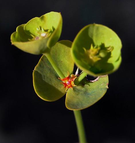 Euphorbia serrata; lechetierna,  rechiruela