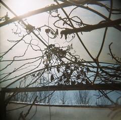 holga-ed polytunnel (knautia) Tags: uk england 120 film mediumformat bristol holga spring farm toycamera vine 2006 ishootfilm plasticfantastic bedminster urbannature april kiwi 400iso windmillhillcityfarm cityfarm windmillhill polytunnel fujicolor aprilfoolsday 120challenge holgaroll5 120challengeapril polythenemediumformat kiwiplant