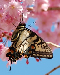 Obsession With This Butterfly! (Momba (Trish)) Tags: pink flower beautiful topv111 butterfly ilovenature spring nikon 500v20f seasons nikond70 quality 50100fav bloom easterntigerswallowtail momba cherrybloom naturesfinest top20butterflymoth spring2006 topvaa 2550fave interestingness151 i500 lovephotography explore05april2006 nikonstunninggallery