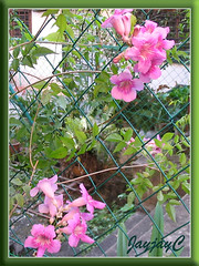 Podranea ricasoliana (Pink Trumpet Vine, Port St Johns Creeper) at our backyard, February 2006
