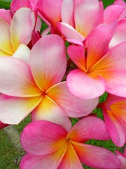 Happy Plumerias (Pink Hibiscus) Tags: pink flowers flower hawaii nikon oahu plumeria explore tropical 3200 allrightsreserved copyrighted interestingness2 tropicalflowers plumi 1000v nikon3200 i500 1on1flowers explore22may06 passionforplumeria