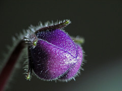 bud (Marko_K) Tags: flowers flower macro tag3 taggedout tag2 tag1 searchthebest top20macro bud top20flower