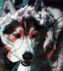 Dog Preserver (Curtis Gregory Perry) Tags: cloud dog dogs animal clouds furry husky canine malamute 200 views mansbestfriend popular creature companion doggie lifepreserver k9