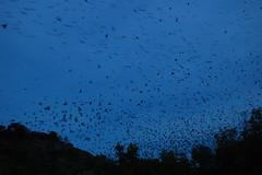 Bats, Bats everywhere Bats!