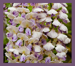 wisteriupanddown (0 W8ing) Tags: flowers flower macro tag3 taggedout spring flora tag2 tag1 purple nikond50 1855mmf3556g wisteria 0w8ing beautifulnuisance