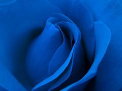 blue rose macro