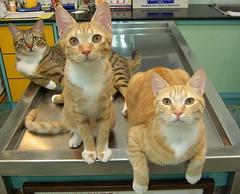 EPSN6157 (jacky elin) Tags: orange cats brown cat mix kitten tabby lin jacky miumiu