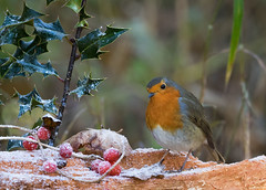 Christmas Robin (RobLesliePhotography) Tags: