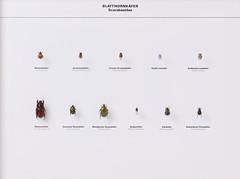 Coleoptera Scarabaeidae (nmbeinvertebrata) Tags: nmbe0140 coleoptera scarabaeidae anomalavitis phylloperthahorticola hopliaphilanthus hopliacoerulea hopliafarinosa oryctesnasicornis cetoniaaurata potosiacuprea valgushemipterus gnormiusnobilis trichiusfasciatus exhibition