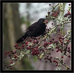 BLACKBIRD REFUELING (PHOTOGRAPHY STARTS WITH P.H.) Tags: blackbird nikon d4s topsham devon