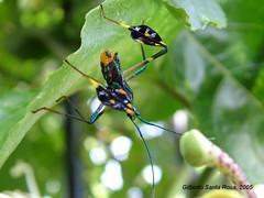 DSCF4800a (SantaRosa OLD SKOOL) Tags: bug passiflora maracuj coroidae