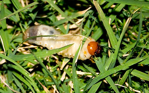 Chafer Grub in grass