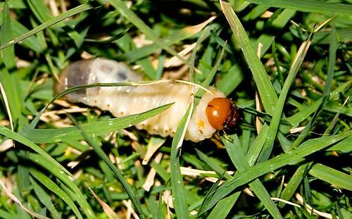 Chafer Grub in grass
