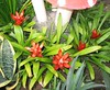 Guzmania lingulata var. minor (Orange Star, Scarlet Star)