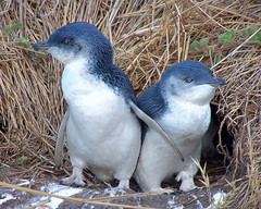 Little Penguin Twins (by M Kuhn)