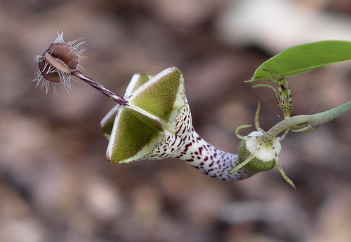 Ceropegia haygarthii var. distincta by petrichor, on Flickr