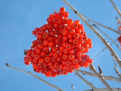 Dogberries (Mark Veitch) Tags: red berries berry dogberries winter snow blue bunch tree newfoundland tag1 tag2 tag3 taggedout