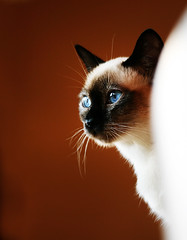 Missy Peeking (Barb Henry) Tags: cats siamese tonkinese kitties missy top20hallfame cc100 cc500 cats760views cat1300 pet1000 barbhenryphotograpy