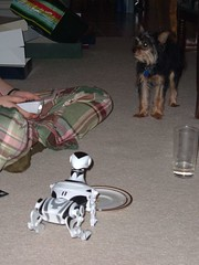 12/25/05 - My Parents' House: Megan and Lottie (mavra_chang) Tags: christmas dogs robots chihuahuas christmas2005 maltese yorkshireterriers lottie christmasday christmasday2005 robotdogs robodogs morkies