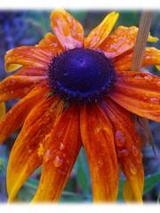 black eyed & water logged (Amber *) Tags: orange flower color wet rain flickr favorites photowalk favoritethings blackeyedsusan favd picsflickrmemberscommentedon thecommentaryset picsflickrmembershaveaddedtotheirfavorites yourfavdset