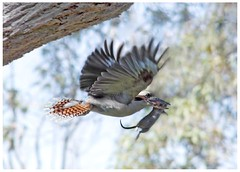 Laughing Kookaburra and mouse (Jarra) Tags: kookaburra mouse rat hunting prey kill bird australia fauna laughingkookaburra dacelonovaeguineae