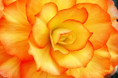 orange (Giovanni88Ant) Tags: orange flower begonia begoniaceae excellence