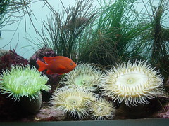 Sea anemones and orange fish