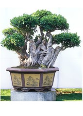 37 (hvprasad) Tags: plant indian bonsai mysore ganapathy penjing swamiji sachchidananda bpnsai