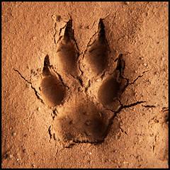 Coyote Track (mhawkins) Tags: coyote track