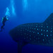Diver meets a Whale Shark in the Galapagos Islands