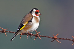 GOLDFINCH (Sparkyfaisca) Tags: bird portugal birds zeiss quality goldfinch birding birdsinportugal avesemportugal aves ornithology digiscoping birdwatching digiscope cardueliscarduelis europeangoldfinch sparkyfaisca diascope