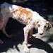 This is Fresia!!! A typical rescue dog / Un perro típico de rescate