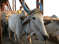 Decorated Cow. Agra Northern India. (James Holme) Tags: bovine india decoratedanimal agra cow explorecouk animal animals animalpictures