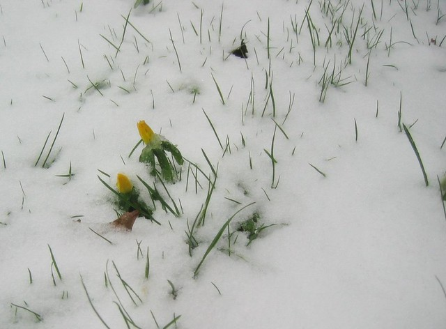 Voorjaarssneeuw (cropped)