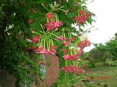 flower24 (joegoauk3) Tags: flowers flower goa creeper rangoon goan joegoauk goanflowers