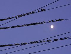 blue moon birds nj wires sister72 birdsonawire monmouthcountynj theflyinmovies watchingthemoon birdswatchingmoon