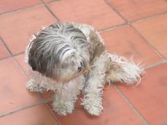 MerdaLù! (kiki follettosa) Tags: cane cugina friend pet dog milù mila milona cagna cagnona cagnina pelo marrone bianco occhi naso muso baffi