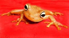 I want to be Spiderman (McCann_M.P.) Tags: red topf25 topv111 bigeyes climb venezuela amphibian frog treefrog potofgold top20frogs