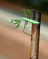 Watching, waiting ... (young_einstein) Tags: macro 20d canon mantis 100mm prayingmantis