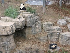 Mom and Baby (joekerstef) Tags: animal animals zoo washingtondc panda nationalzoo cubs pandas zoos meixiang animalbabies pandacub taishan babypanda butterstick