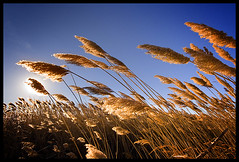 Warmth (Chris Hoare) Tags: milton ontario field reeds sky sunset flare blue yellow orange glow beautiful warm warmth sunny sun holy sht this was cold though