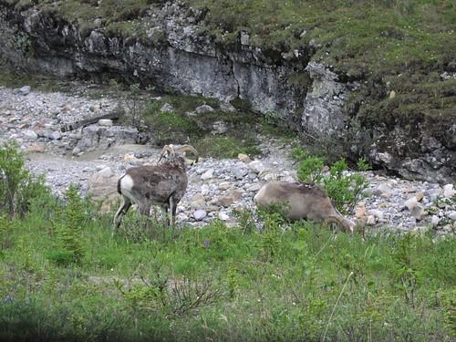 Stone sheep / northwest Alberta, Canada