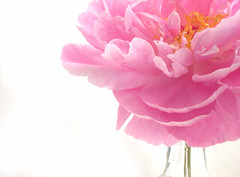pink! (Something To See) Tags: pink flower petals gutentag peony vase