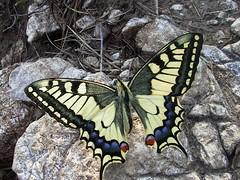 Papilio machaon (diemmarig) Tags: farfalla farfalle papiliomachaon millenovecento faé
